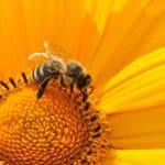 Bienen retten in 7 Schritten