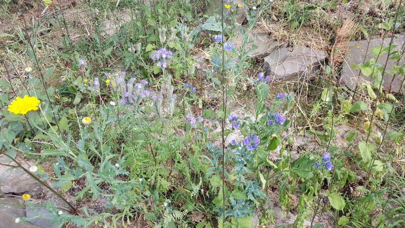 bienen zu retten ist mit wildblumenwiesen möglich